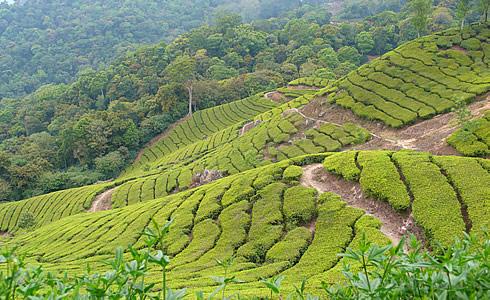 Teeplantage in Munnar
