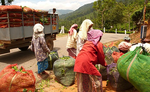 Mitarbeiterinnen der Plantage bringen den frisch gepflückten Chai zum wiegen